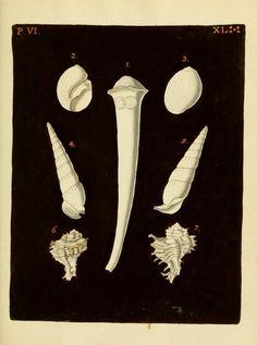 d.6 (1775) - G. W. Knorrs Verlustiging der oogen en van den geest ; of Verzameling van allerley bekende hoorens en schulpen, die in haar eigen kleuren afgebeeld zyn. - Biodiversity Heritage Library
