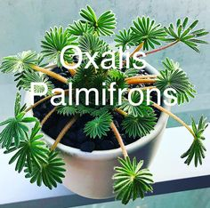 Pflanzen Oxilis Palmifrons - Plantfulness - Although you may want Indoor Cactus Plants, Cactus House Plants, Cool Plants, Outdoor Plants, Garden Plants, Cactus Cactus, Cactus Flower, Cactus Terrarium, Vegetable Gardening