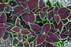 250 Coleus Chocolate Mint Live Plants Plugs Garden Home Patio Planters 256 #Coleus