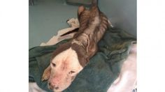 *** PLEASE SIGN!!!!! **** Virginia dog that was left without food for weeks, had ears cut off deserves justice!   YouSignAnimals.org