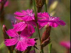 Dianthus silvestris (garofanino selvatico)