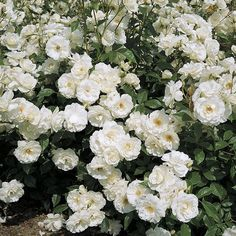 Iceberg Climbing Rose  Requires Less Light than Many Climbing Roses!  Long-Lived and Flower-Happy!  If you're looking for a long-lived, flower-happy climbing rose, look no further than 'Iceberg'! This garden favorite has been a common sight in landscapes for years, originally in its shrub form and now as a glorious blanket for fences, trellises, arbors, and walls!