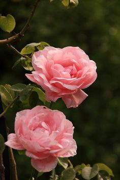 Roses in El Generalife Garden, Granada