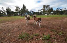 Logan and his malamute friend at the dog park.