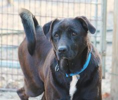 Lexie - sweet Lab Mix ADOPTED from All Breed Rescue VT!