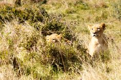 Lions Addo Elephant National Park is a diverse wildlife conservation park situated close to Port Elizabeth in South Africa and is one of the country's 19 national parks. Cheetah Cubs, Cool Picks, Port Elizabeth, Wildlife Conservation, Tanzania, Lions, Panther, South Africa, Road Trip