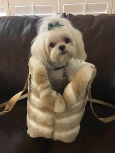 Maltese Love this adorable girl's hair. Learn tips to keep her looking good with these grooming tips for older, mature adult cats. Cute Puppies, Cute Dogs, Dogs And Puppies, Doggies, Amor Animal, Malteser, Maltese Dogs, Dog Rules, Shih Tzu