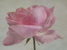 Sarah Jarrett : Summer Rose (painting & photo)