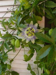 Love them! Just planted 2. Edible, fragrant, beautiful. Passion flower growing by Sassy Gardener, via Flickr