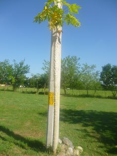COCONUT TREE Kingdom: Plantae Phylum: Angiospermae Class ...