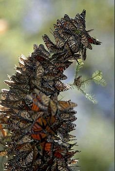 Congregation of Butterflys