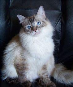 Ragdoll Cats                                                       …