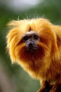 Rivera your so cute! Golden Lion Tamarin, Golden Lions, Primates, Mammals, New World Monkey, Lemur, Baby Animals, Wildlife, Creatures