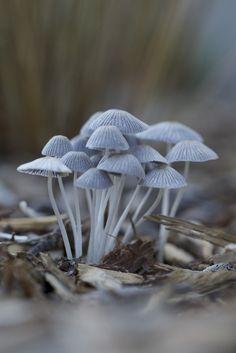 Pale Blue Mushrooms. Fungi.