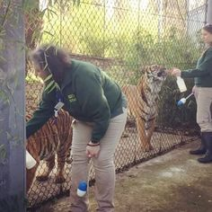 Just in case you meant to visit the tigers today, here are Eko and Olan practicing the tiger training program with their keepers. The boys received delicious sprays of milk as part of their routine training which allows keepers to monitor and visually check the health of these big cats.  Hear a clicking noise? Keepers use target training to ask the tigers to participate. The noise is a tool for both the tiger and the trainer to work together.  #tiger #malayantiger #bigcats #catsofinstagram…