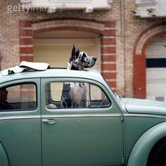 Harlequin Great Dane in VW Bug / Beetle