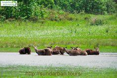 Deer at Sundarban National Park.