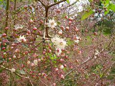 Guamirim facho (Calyptrantes concinna) Guamirim de flor rosada, Cambuí ornado, ou Guamirim enfeitado