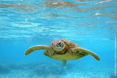 Turtle (Lady Elliot Island) is, in Japan, the symbol of good luck and longevity. The turtle is considered an auspicious animal supposed to bring 10 000 years of happiness.