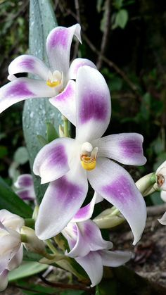 #Camaridium ampliflorum #orchid by Daniel-CR. #Flowers http://www.flickr.com/photos/costarica1/6799223287/in/photostream
