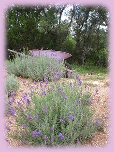 Miller Creek Lavender Farm, Blanco, Texas