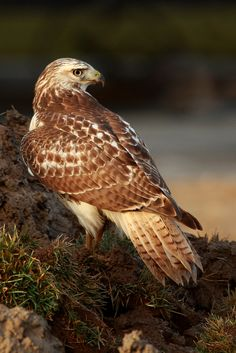 Light Morph Red-tailed Hawk by Alex Thomson13