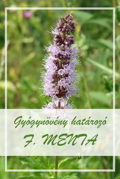 A Fodormenta népies neve:  Köményes menta, kerti menta.  Hogyan gyűjtsük a Fodormenta gyógynövényt?  Gyógyászati célokra a növény száráról lefosztott leveleit hasznosítják. Medicinal Plants, Health Remedies, Herbalism, Spices, Herbs, Sport, Healthy, Plant, Herbal Medicine