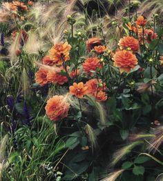 Dahlias and foxtail barley // Hordeum jubatum