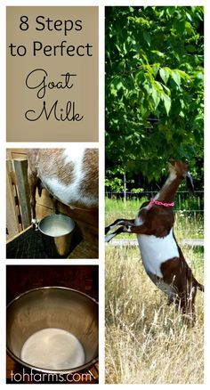Goat milk should taste just as good if not better than cows milk. Follow my easy steps and your goat milk will taste amazing!