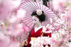 Geisha with a pink umbrella surrounded by Cherry Blossom/Pink Sakura, Japan.