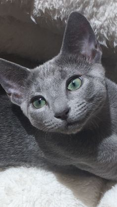 If you are looking for a truly unique and beautiful kitten you don't have to look much further than the Russian Blue breed. Delightful Discover The Russian Blue Cats Ideas. Grey Cats, White Cats, Blue Cats, Russian Cat, Russian Blue, Kittens Cutest, Cats And Kittens, Best Cat Breeds, Beautiful Kittens