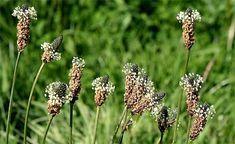 30 plantes comestibles sauvages : la liste complète ! Edible Wild Plants, Wild Edibles, Plantation, Dandelion, Green, Nature, Flowers, Permaculture, Inspiration