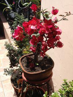 Bonsai de bugambilla
