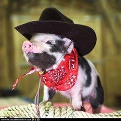 cute pictures of baby piggies - Google Search