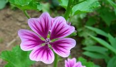 Common-Mallow: love these flowers Mallow Flower, Flower Meanings, Wild Edibles, Edible Plants, Farm Yard, Harvest, Survival, Health, Floral