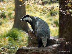 Badger profile