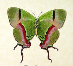 #Butterfly | #Butterflies | #Moths Thecla Coronata Verso Hewitson Blue Hairstreak Butterfly from Central America