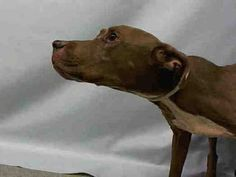 GONE 9/9/2015 --- Manhattan Center ARMAND – A1049722  NEUTERED MALE, BROWN / WHITE, PIT BULL MIX, 7 yrs STRAY – ONHOLDHERE, HOLD FOR ID Reason OWN EVICT Intake condition ILLNESS Intake Date 08/30/2015