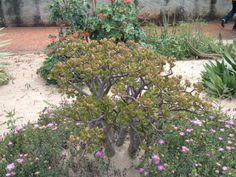 Crassula (Crassula ovata) : arrosage, entretien Crassula Ovata, Plante Crassula, Nature, Plants, Gardening, Gardens, Gardening Hacks, Vegetables Garden, White Flowers