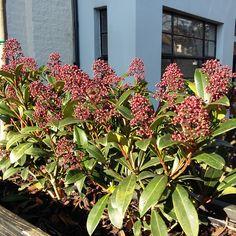 Client's garden in winter sunshine, Skimmia japonica 'Rubella' yes it is winter!