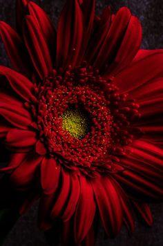 Red Gerbera - Red l Daisy