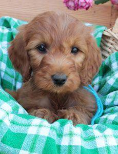 Irish Doodle Facts, Temperament, Training, Diet, Puppies, Pictures