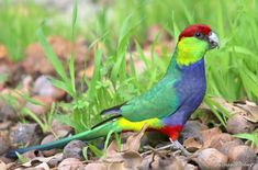 A Red Capped Parrot has a lovely temperament and a charming appearance. They make great aviary pets. Colorful Parrots, Colorful Birds, The Thorn Birds Movie, Australian Parrots, Bird Barn, Barn Owls, What Is A Bird, Toucan, Parrot Pet