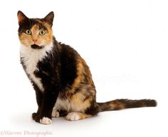 Chocolate-tortoiseshell-and-white cat photo - WP15574