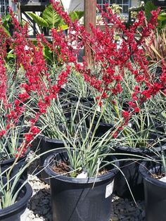 Hesperaloe parviflora 'Brakelights' (Brakelights Red Yucca) is a slow growing, evergreen succulent with grass-like foliage up to 3 feet. Blooming Succulents, Cacti And Succulents, Planting Succulents, California Garden, Home Garden Plants, Garden Markers, Desert Plants, Garden Seeds, Landscaping Plants