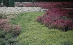 """Calluna and erica interplanted to form a """"river"""" and """"banks""""."""