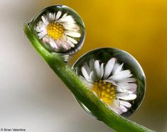 A drop of magic: Amazing pictures of flowers captured in a drop of rain | Mail Online