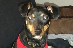 This little dog needs a surgery and his mom is unemployed, lets help her get the surgery he needs.