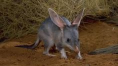 Bilby-an endangered Australian marsupial. Iind of like a cross between a kangaroo, an ant eater, and a bunny