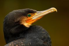 Little black cormorant (Phalacrocorax sulcirostris) Баклан малый чёрный
